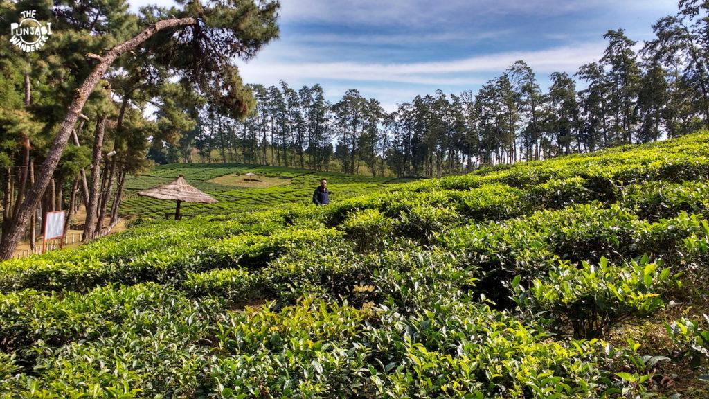 Tea gardens shillong